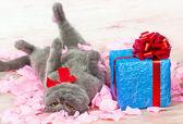 Un gato acostada sobre la espalda sobre pétalos de rosa — Foto de Stock