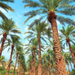 Stock Photo: Date palm plantation near Dead Sein Ein Gedi