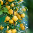 Branch of yellow plum — Stock Photo #39361805