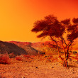 Alone tree in Judean Desert at sunset — Stock Photo