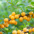 Branch of yellow plum — Stock Photo #39362087