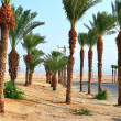 Stock Photo: Date palms near Dead Sein Israel