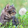 Stock Photo: Little kitten sniffing dandelion