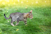 Cat running in grass — Stockfoto
