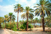 Date palm plantation near Dead Sea in Ein Gedi — Stock Photo
