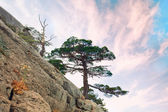 Single pine tree on the rock — Stock Photo