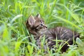 Lilla kattunge liggande i gräset — Stockfoto