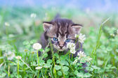 Little kitten walking on clover lawn — Foto Stock