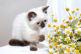 Little cat playing with chamomile — Stock Photo