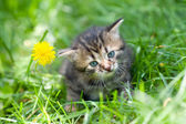 Little kitten sitting on the grass near dandelion — Stockfoto
