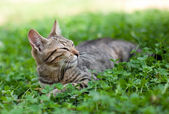 Cat lying in clover — Stock Photo