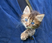 Beautiful little kitten looking out of the jacket — Stockfoto