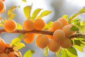Branch of yellow plum in back light — Stock Photo