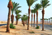 Date palms near Dead Sea in Israel — Stock Photo