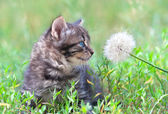 Little kitten sniffing dandelion — Stock Photo