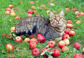 Cat relaxing on green grass among apples — Stock Photo