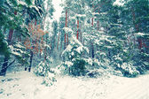 Pine forest covered with snow — Stok fotoğraf