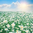Chamomile field with blue sky — Stock Photo
