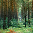 Stock Photo: Pine forest in summer