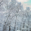 Stock Photo: Winter forest covered with snow