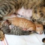 Newborn kitten sleeping near mother cat after cesarean — Stock Photo