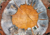 Structuur van de gesneden boom — Stockfoto
