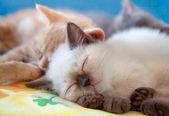 Sleeping little cat — Stock Photo
