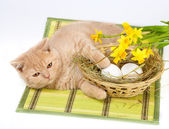 Creme gatinho deitado perto de cesta com ovos — Foto Stock