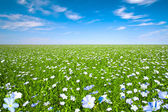 Flax field with blue sky — Stock Photo
