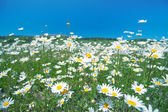 Chamomile flowers against the sky — Stock Photo