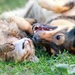 Dog and cat playing together outdoor.Lying on the back together — Stock Photo