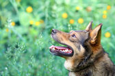 Portrait of dog on green background — Stock Photo