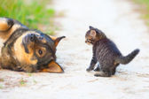 Little kitten playing with big dog — Stock Photo