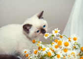 Siamese kitten and chamomile — Stock Photo
