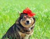 Dog in red hat — Stockfoto