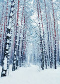 Pine forest with snow — Stock Photo