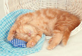 Petit chaton dort — Photo