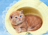 Chaton au chapeau — Photo