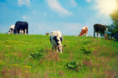Cows on green grass — Stock Photo