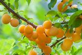 Branch of yellow plum — Stock Photo