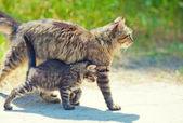 Mom cat walking with little kitten — Stock Photo