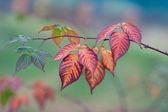 Autumn colorful leaves on branch — Stock Photo
