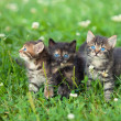 Three cute little kittens walking on the clover lawn — Stock Photo