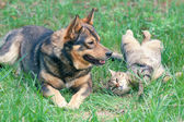 Dog and cat playing together — Stok fotoğraf