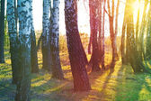 Birch groove at sunset — Stock Photo
