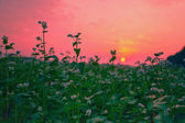 Beautiful buckwheat field at sunset — Stockfoto