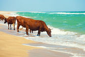 Cows drinking water from sea — Stock Photo
