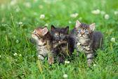 Three cute little kittens walking on the clover lawn — 图库照片