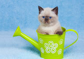 Cat in the watering can — Photo