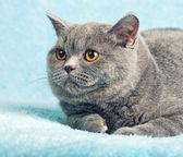 Cat lying on blue blanket — Stock Photo